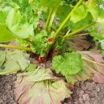 Rhabarber Blätter 6