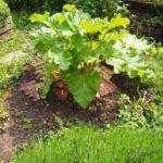 Rhabarber-Pflanzen mögen es sonnig bis maximal halbschattig